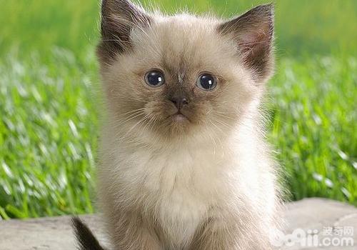 不同时期猫对猫粮的需求-成猫饲养