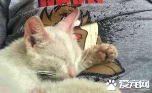 小猫擅躺人家肚子上睡得超香 醒来就拥有一个家了